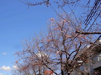 クレ.桜.03.yy88.1500.jpg
